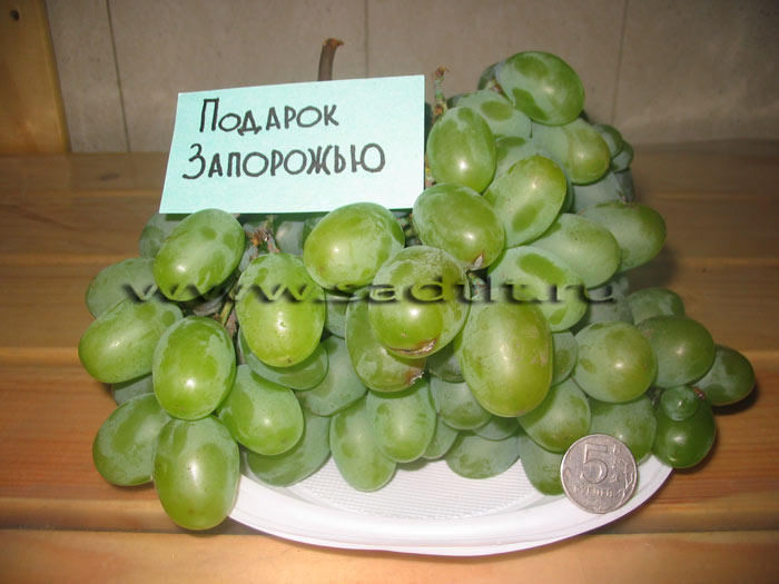 Описание и винограда подарок запорожью 142