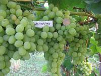 Купить саженцы винограда тольятти